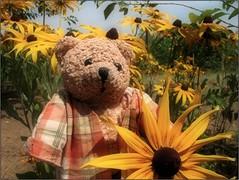 (Tölgyesi Kata) Tags: maczyka kúpvirág rudbeckia summer bear coneflower blackeyedsusan nyár yellowflower