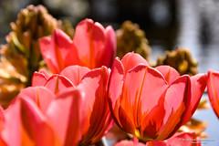 2017-04 Tulpen in overvloed in de Tulpenhof - Lisse/NL (About Pixels) Tags: 0409 2017 aboutpixels holland keukenhof lenteseizoen lisse mnd04 nikond7200 nl nederland netherlands nikon specials springseason zuidholland algemeen april art beeldendekunst bloemenpark bol bolgewas bulb collecties flora fotografie hyacint hyacinth kunst nature natuur photography plant tulip tulips tulp tulpen visualarts