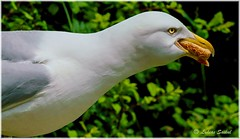 There goes my breakfast!!! :-))) (lukiassaikul) Tags: wildlifephotography wildanimals wildbirds urbanwildlife birds seagull largebirds herring gull