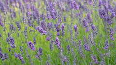 Green & Purple (Andrew Laws) Tags: green purple lavender flower grass plant stem leaves nature canon 80d tamron 150600mm dof depth bokeh summer verano