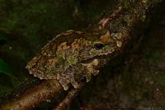 Green-eyed Tree Frog (Litoria serrata) (shaneblackfnq) Tags: greeneyed tree frog litoria serrata shaneblack amphibian rainforest julatten mt mount lewis fnq far north queensland australia tropics tropical