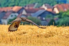 Surprise au décollage (Diegojack) Tags: sullens vaud suisse oiseaux rapacs vol champ blé buse bokeh