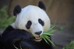 Xiao Liwu - San Diego Zoo (Rita Petita) Tags: xiaoliwu mrwu sandiegozoo sandiego california china panda giantpanda specanimal specanimalphotooftheday