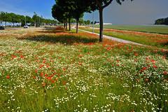 Fleurs champêtres (JDAMI) Tags: coquelicots fleurs champs route bordure arbres verdure herbes ciel amiens somme 80 picardie hautsdefrance france french rouge floraison nikon d600 tamron 2470 poppies flore flora paysage flower red