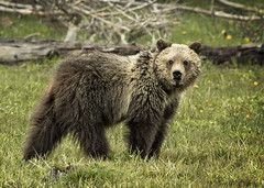 Grizzly Yearling (Patty Bauchman) Tags: grizzlybear grizzlybearcub bear yellowstonepark wildlife nature yearlingbear