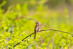 Song Sparrow (kmanoh) Tags: usa unitedstates america northamerica northeast newengland massachusetts ma eastboston city nikon d810 belleislemarshreservation marsh reservation song sparrow songsparrow