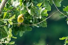 Domaine des oiseaux (Mazères/Ariège) (PierreG_09) Tags: ddo domainedesoiseaux mazères ariège midipyrénées occitanie faune oiseau verdierdeurope carduelischloris europeangreenfinch passériformes fringillidés