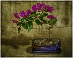 Bougainvillea Bonsai (IAN GARDNER PHOTOGRAPHY) Tags: bonsai bougainvillea autofocus bush plant tree