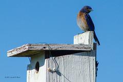 2580 western bluebird (Gerald F. Ward) Tags: americanriverparkway westernbluebird