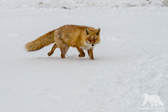 Red Fox (fascinationwildlife) Tags: animal mammal red fox rotfuchs fuchs snow wild wildlife winter nature natur notsuke peninsula north northern japan hokkaido asia japanese