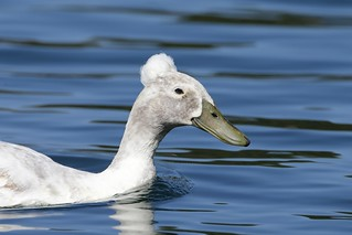1DX10557 View Large. Domestic Crested Duck. Temecula, California