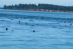DSC_5820 (whibbles) Tags: washington pnw mountains seattle hiking rattlesnakeledge orcas whales orcasisland eagles wildlife
