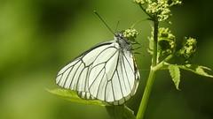 Black-veined White (Aporia crataegi) (eerokiuru) Tags: blackveinedwhite aporiacrataegi baumweisling põualiblikas