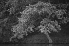 young oak (Mindaugas Buivydas) Tags: lietuva lithuania bw summer june tree trees oak lakeside portraitofthetree verkiųregioninisparkas verkiairegionalpark balsis shallowdepthoffield mindaugasbuivydas