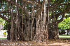 Banyan Tree 1 (venusnep) Tags: hawaii banyantree banyan tree waikiki may 2017 nikond610 nikon d610