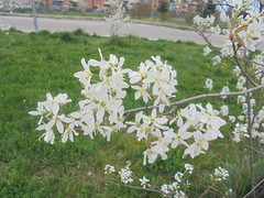 1185 (en-ri) Tags: fiorellini little flowers ramo sony sonysiti bianco