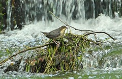 Dipper (Bogger3.) Tags: dipper river cloudyday canon600d tamron150x600lens fullzoom handheld waterfall ngc coth5 sunrays5