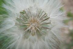 Remaining seeds - Tragopogan porrifolius - Asteraceae (Monceau) Tags: salisfy seedhead missing seeds tragopogonporrifolius asteraceae inside geometry macro worlduntoitself