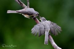 Kids will be kids (dbifulco) Tags: tuti adult behavior bird feeding fledgling nature newjersey tuftedtitmouse widlife yard