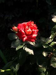 Rose flower, роза (Anna Gelashvili) Tags: цветокроза роза rose flower цветок flowers цветочки garden красныецветочки roseflower ვარდი