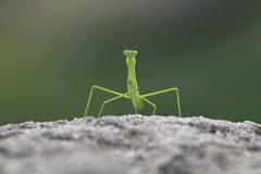 freaky friday foto (ucumari photography) Tags: ucumariphotography nc north carolina zoo june 2017 bug insect grasshopper dsc7494 specanimal
