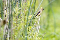 Cedar Waxwing (Chatham Sound) Tags: fauna woodlandbirds cedarwaxwing canada britishcolumbia vancouver lander georgecreifelmigratorybirdsantcuary nikon d5 nikkor400mmf28mmlens primelens