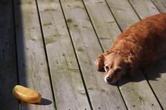 Wolf! (JS Flash) Tags: animal dog puppy animalphotography dogphotography dogphotographer puppydog pet petphoto petphotography photographer petphotographer canada ontario hamilton photography photographyart photographerlife photo photoart happy happyphoto