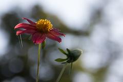 The flower on the web (Cecilia A) Tags: jardinpublic spiderweb flower fleur fiore flor macro bokeh backlight contraluz canon canont3i canon600d ceciliaa