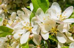 Afternoon Apple Blossoms (John Kocijanski) Tags: hbw bokeh macro flowers tree canong15