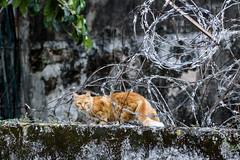 Gato e arame farpado (Johnny Photofucker) Tags: quintadaboavista sãocristóvão gato cat gatto chat arame wire animal animale pet bicho riodejaneiro rj 24105mm
