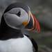 Papegaaiduiker / Fratercula arctica / Atlantic Puffin