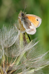 Small Heath (Roy Lowry) Tags: cerneabbas gianthill smallheath coenonymphapamphilus