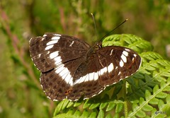 White Admiral Limenitis camilla (pete Thanks for 5 Million Views) Tags: whiteadmiral hwcp blackwhite butterfly lumix macro colchester