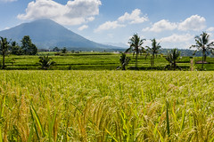 IMG_0627 (Ela&Piotr) Tags: bali indonesia indonezja jatiluwih ricefields
