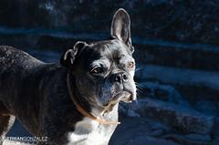 Nina pensativa (germangonzalezfotografia) Tags: perro dog look thinking pensativa bulldogfrances