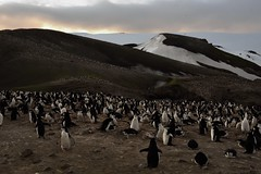 200,000 Chinstrap Penguins at Bailey Head, Shetland Islands, Antarctica (Scott Ableman) Tags: shetlandislands baileyhead chinstrappenguins chinstrappenguin chinstrap penguin nationalgeographicexpeditions lindbladexpeditions nationalgeographicorion antarctica