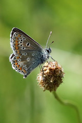 Common Blue (m) (Roy Lowry) Tags: commonblue polyommatusicarus cerneabbas gianthill