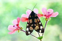 Arctia villica (Mascamit) Tags: arctia villica lepidottero bassanoromano viterbo lazio natura farfalla farfalle falena macro