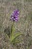 Military Orchid (Orchis militaris) (macronyx) Tags: nature plant plants blommor växt växter flower flowers orchid orkide orchis orchismilitaris nycklar johannesnycklar militaryorchid