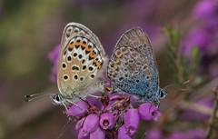 Mating pair of Silver-studded Blues (steb1) Tags: silverstuddedblue plebejusargus lycaenidae butterfly lepidoptera insect macro preesheathcommon