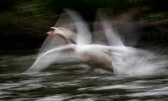 swan Motion Blur Series 9 (Jaap Coorens) Tags: longexposure biesbosch color flight swan strokes motionblur curves panning takeoff wingstroke white