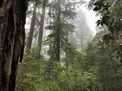 Foggy morning Redwood National Park (TrailMob.com) Tags: prairiecreekredwoodsstatepark hikingtrail hiking travel nature naturephotography camping scenery backpacking outdoors outdoorrecreation outside optoutside trailmob california explorecalifornia discovercalifornia hikingcalifornia redwood redwoods hikingredwoods redwoodnationalpark redwoodsnationalpark redwoodsstatepark