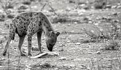 Scavenger (Dreamcatcher photos) Tags: hyena etosha namibia dreamcatcherphotos bone mammal blackandwhite