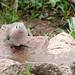 Mourning Collared-Dove - Streptopelia decipiens
