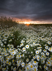 Camomile (Sarah_Brooks) Tags: sunset somerset camomile daisies daisy wheatfield summer crops invaders wildflowers