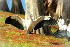 Dancing with my Father God  in fields of grace... (Explore 2017-07-11) (NancySmith133) Tags: woodstorks lakeadair centralfloridausa painterly