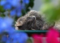 Summer dreams (FocusPocus Photography) Tags: fynn fynnegan katze kater cat chat gato tier animal haustier pet müde tired sleepy bokeh