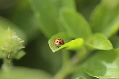 Dona Joaninha (Solange Gr) Tags: macro 60mm28 canon 60d joaninha insetos natureza