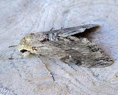 Convolvulus Hawk-moth (andrewking37) Tags: convolvulus hawkmoth agrius convolvuli