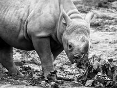 Rhino (Dell's Pics) Tags: chester zoo rhino rhinoceros animal wrinkles skin wrinkled bw blackandwhite mono monotone horn two eating olympus omd em5